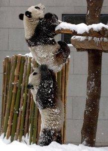 Pandas-trabalho-em-equipe
